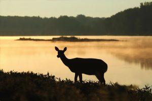 nature: roe at sunset and a lake